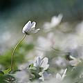Anemone Flower by Dreamland Media