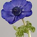 Anemone by Nigel Cattlin