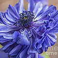 Anemone Blues I by Terry Rowe