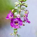 Angel Face Flower - Summer Snapdragon by Kerri Farley