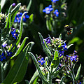 Angel Island Bee by John Daly