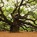 Angel Oak Tree 2009 by Louis Dallara