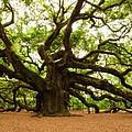 Angel Oak Tree 2009 by Louis Dallara
