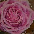 Angel's Pink Rose by Michael Steckler