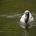 Angry Crested Duck by James Potts