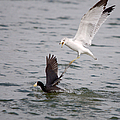 Angry Gull 2 by Roy Williams