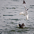 Angry Gull by Roy Williams