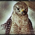 Angry Hawk by Eric Chegwin