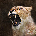 Angry Lioness by Jai Johnson