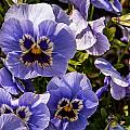 Angry Pansy by David McAlpine
