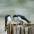 Angry Swallow by Jai Johnson