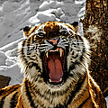 Angry Tiger by Ernie Echols