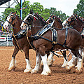 Anheuser Busch Budweiser Clydesdale Horses In Harness Usa Rodeo by Sally Rockefeller