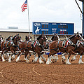 Anheuser Busch Clydesdales Pulling A Beer Wagon Usa Rodeo by Sally Rockefeller