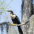 Anhinga And Spanish Moss by TJ Baccari