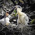 Anhinga Chicks by Fran Gallogly