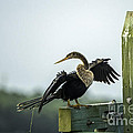 Anhinga by David Waldrop