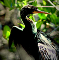 Anhinga by David Weeks