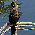 Anhinga Immature by Doris Potter