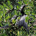 Anhinga Male by Doris Potter