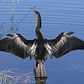 Anhinga  Sunbathing by Christiane Schulze Art And Photography