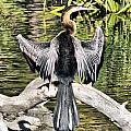 Anhinga by Tam Ryan