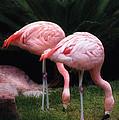 Animal - Flamingo - A Set Of Flamingoes by Mike Savad