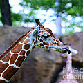 Animal - Giraffe - Sticking Out The Tounge by Paul Ward
