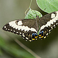 Anise Swallowtail Butterfly by David Millenheft