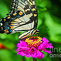 Anise  Swallowtail Butterfly by Peggy Franz