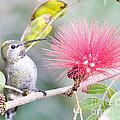 Anna's Hummingbird by Jeffrey Stacey