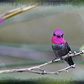 Anna's Hummingbird - Male by Angela Stanton