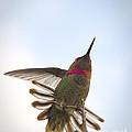 Anna's Hummingbird by Sukhdev Saini