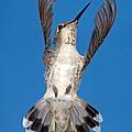 Anna's Hummingbird Tail Display by Ron D Johnson
