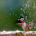 Anna's Hummingbird Taking A Shower by Tom Norring
