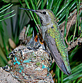 Annas Hummingbird With Young by Anthony Mercieca