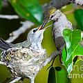 Annas Hummingbirds At Nest by Anthony Mercieca