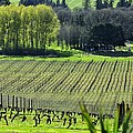 Anne Amie Vineyard Lines 23093 by Jerry Sodorff