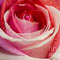 Anniversary Rose by Jonas Luis