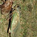 Annual Cicada by Judy Whitton