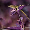 Anole Lizard In A Purple Garden by Sabrina L Ryan