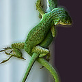 Anole Lovers by DigiArt Diaries by Vicky B Fuller
