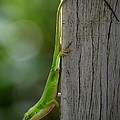 Anole by Maria Urso