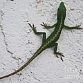 Anole On Stucco by Mary Deal