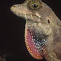 Anolis Lizard Portrait Peru by Mark Moffett
