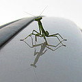 Another Young Mantis by Dan McCafferty