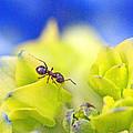 Ant And Hydrandea by Mark Tsemak