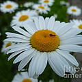 Ant Nothing Sweeter Than My Little Daisy by Lingfai Leung