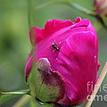 Ant On Peony by Ann E Robson