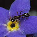 Ant With Pollen Enters Alpine by Mark Moffett